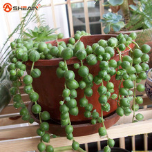 Beads Senecio Rowleyanus Seed Pearl Chlorophytum Succulent Plants Seeds Potted Plants Anti Radiation 100 Particles / lot