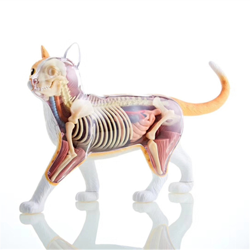 4D Orange Tabby Cat Anatomical Model Puzzle Assembling Toy Simulation Animal Biology Medical Teaching