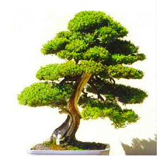 Sacred Japanese Bonsai Cedar Tree Seeds 100Pcs