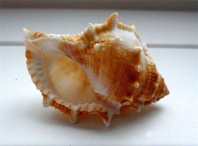 24pcs lot crafts material natural large sea sea for Large seashells for crafts