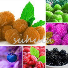 100 Pcs/Lot Genuine Wild Raspberry Bonsai, Sweet Fruit Plants For Home & Garden – Bonsai Fruit Plant Four Seasons Easy Grow