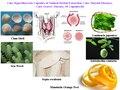 Вылечить Hyperthyreosis Капсулы Натуральных Травяных Добычи, лечения Заболеваний Щитовидной Железы, вылечить Болезнь Грейвса, 50 Формула/lot