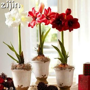 100 шт./пакет Amaryllis Hippeastrum карликовые деревья на крыше терраса Патио Сад Barbados Lily Цветочные растения