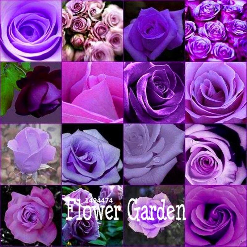 Пурпурная роза порно онлайн