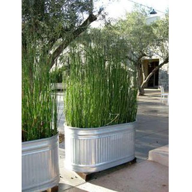 Rare Mini Moso Bamboo Seeds, 50pcs/pack