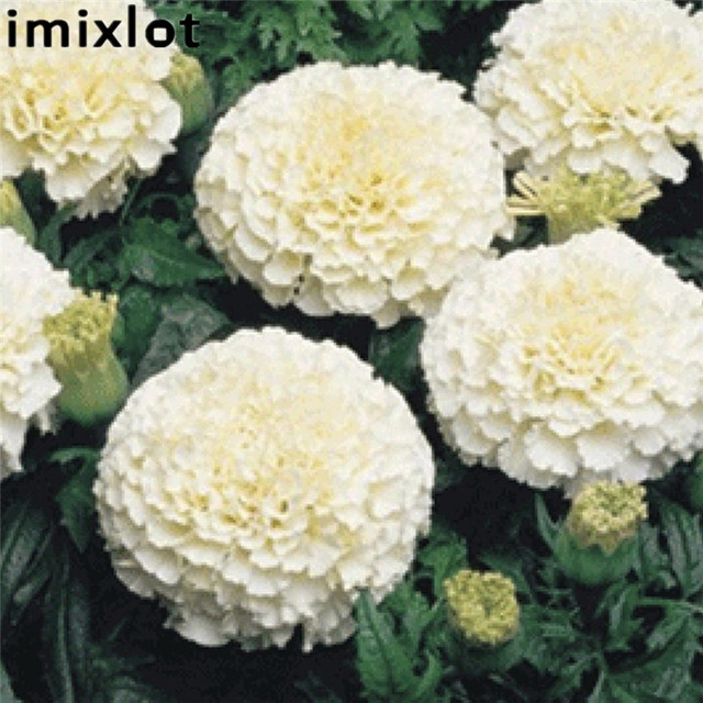 Aliexpress buy imixlot new hot 25pcs rare white marigold seeds imixlot new hot 25pcs rare white marigold seeds perennial flower potted herb home garden bonsai plants mightylinksfo