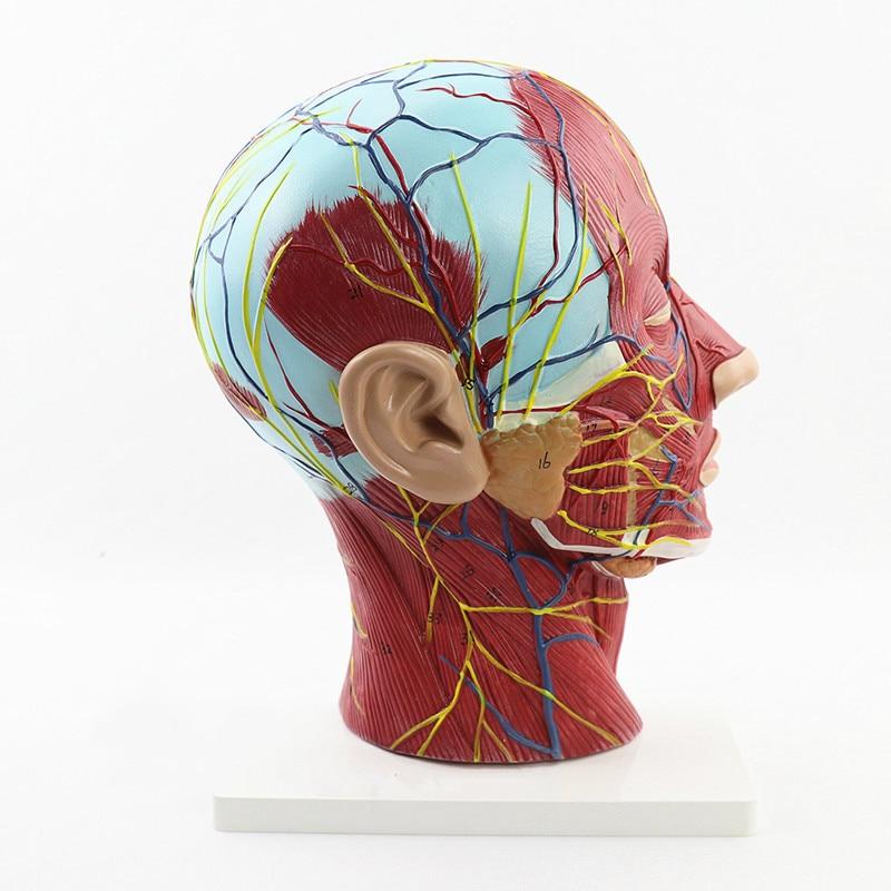 人間の頭蓋骨解剖医療頭と顔解剖モデル脳血管神経モデル耳鼻咽喉科手術モデル医療教育供給  グループ上の オフィス用品 & 学用品 からの 医療科学 の中 1