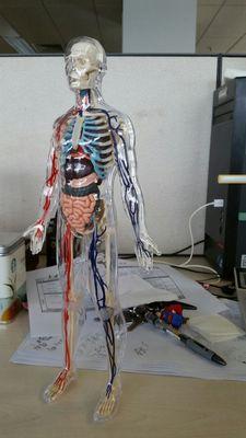 Transparent corps humain anatomie modèle amovible