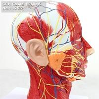 https://ae01.alicdn.com/kf/HTB1wxpoaiHrK1Rjy0Flq6AsaFXaZ/CMAM-12402-Facial-nerve-Anatomical-Human.jpg