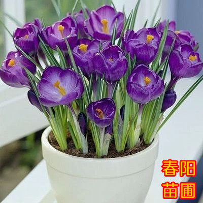 Hot Sale Many varieties Saffron bulbs Saffron Flower ...
