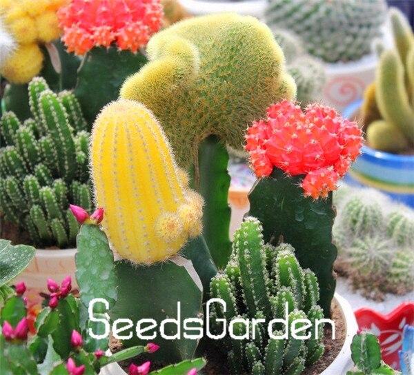 New 2015 Popular Beautiful Bonsai Various Mix Color Cactus Seeds House Keeping 1 Bag 50pcs Plants Seeds,#E7PVKD
