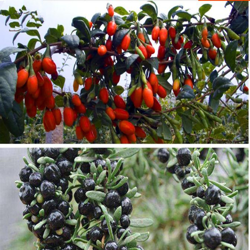 High Quality Red Black Chinese Wolfberry Seeds Seeds, Suitable For Four Seasons Potted Terrace Garden Planted In The Field