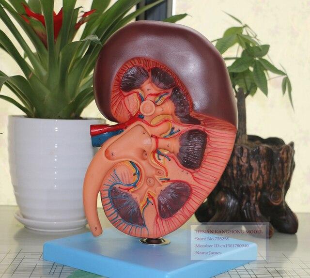 Niere Modell, ISO Zertifizierung Nieren Anatomie Modell, Nieren ...
