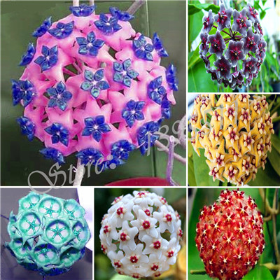 Hot Sale 2016 10 Colors Rare hoya seeds Flower Seeds 20pc/pack Bonsai Seeds for Home & Garden Free Shipping
