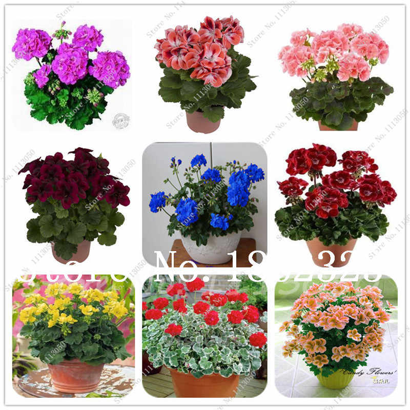 100 Pcs Dicampur Warna Geranium Bonsai Pot Balkon Tanam Musim Pelargonium Pot Bunga Bonsai untuk Indoor Bonsai