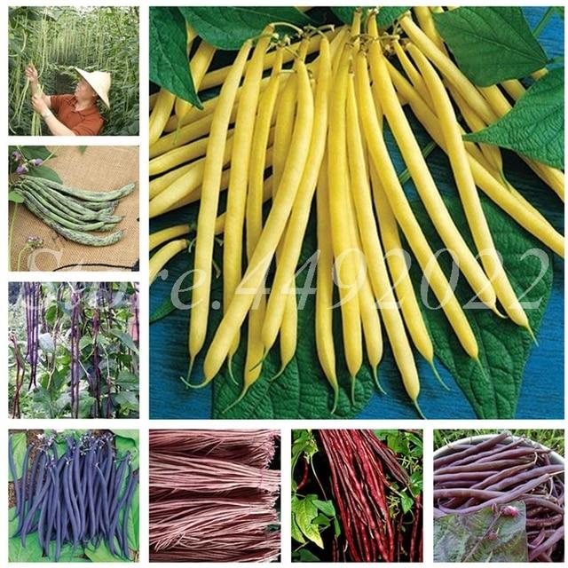 Hot Sale 50 pçs/saco Feijão Feijão Phaseolus Vulgaris Planta Verde Bonsai Planta Vegetal Plantio de Crescimento Natural para Jardim de Casa