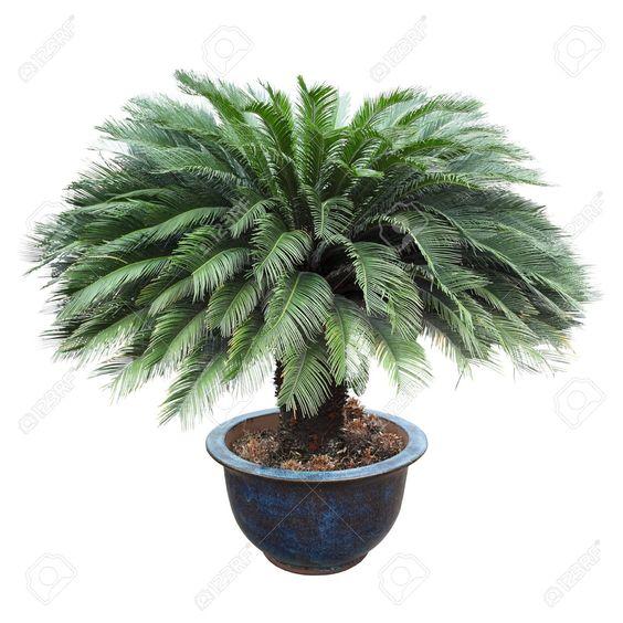 2 pcs/bag Cycas seeds, Sago Palm Tree seeds.bonsai flower seeds,the budding rate 97% rare potted plant for home garden