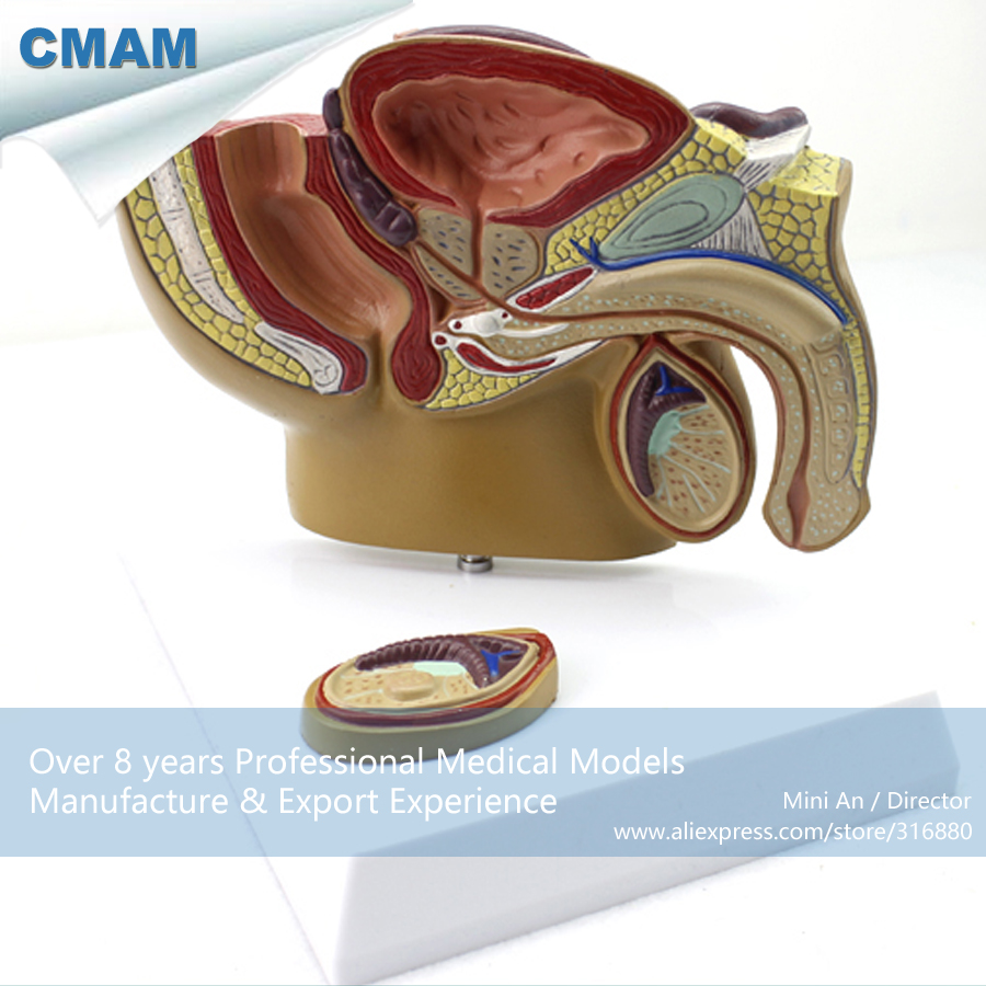 12457 CMAM-ANATOMY19 Desktop Small Male Pelvis Model Mid-sagittal Section with Prostate for Doctor Gift iso anatomy pelvis model median section of female pelvis model