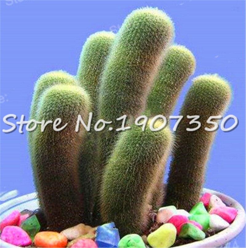 100 piezas de Cactus bonsái plantas ornamentales múltiples interiores bonsái suculentas raras flores bonsái puede purificar el aire para Jardin