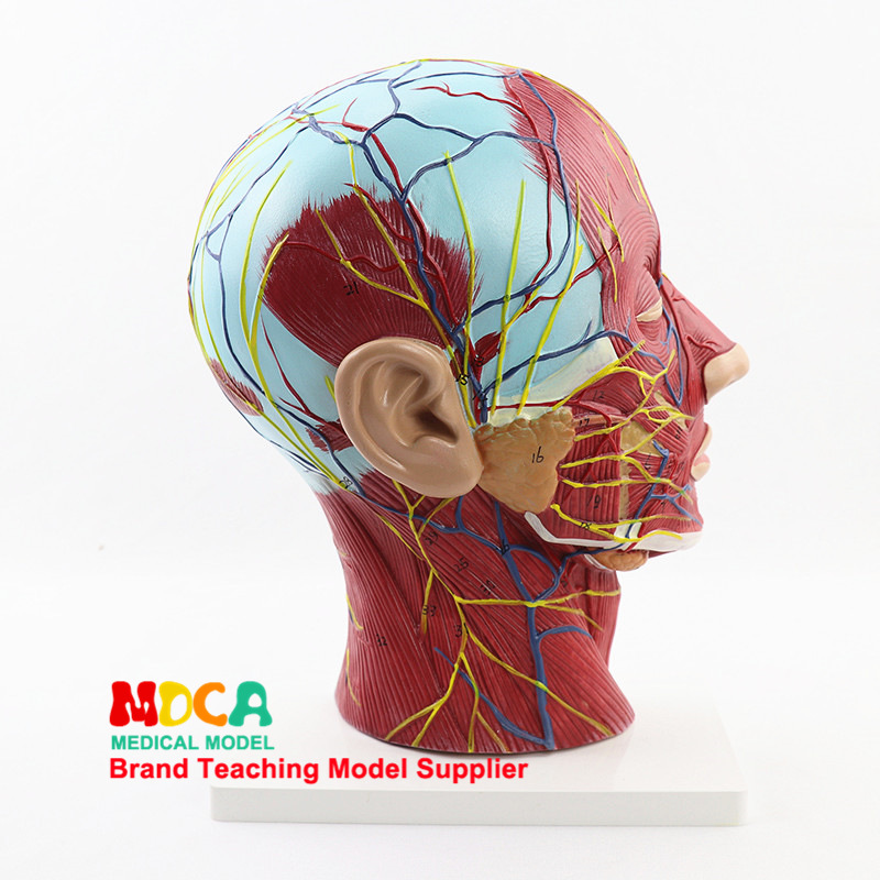 Humans Skull Anatomy Medical Head and Face Anatomy Model Cerebrovascular Nerve Model ENT Surgery Model Medical Teaching SupplyHumans Skull Anatomy Medical Head and Face Anatomy Model Cerebrovascular Nerve Model ENT Surgery Model Medical Teaching Supply