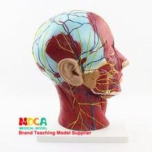 Anatomi Model Promotion-Shop for Promotional Anatomi Model on