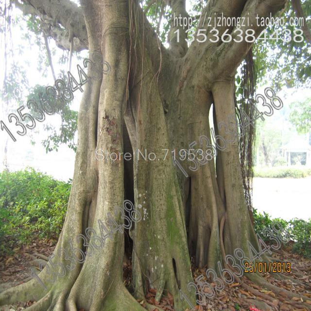 Alpine banyan seed plump ripe seed germination rate les