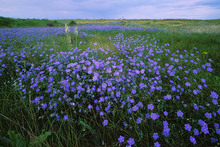 100 Seeds / Pack, Blue Flax ORGANIC NEWLY HARVESTED BEAUTIFUL BLUE FLOWERS #NF517