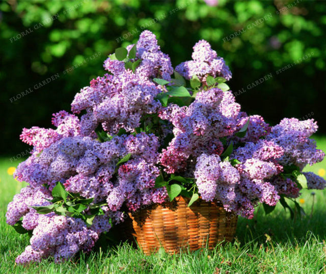 Online shop 50 colorful bonsai lilac seed japanese lilac extremely during encounter any problems please keep in touch with us i wish you a happy shopping journey publicscrutiny Images