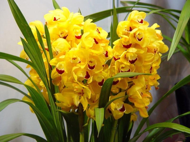 100pcs/bag cymbidium orchid,yellow cymbidium,cymbidium orchid plant,bonsai flower seeds,Natural growth,plant for home garden