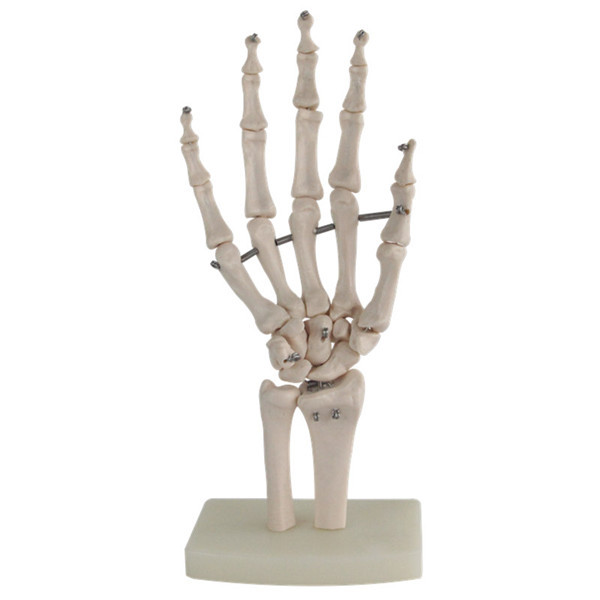 11 Life Size Human Hand Joint Model Hand Skeleton Bone Model Wrist