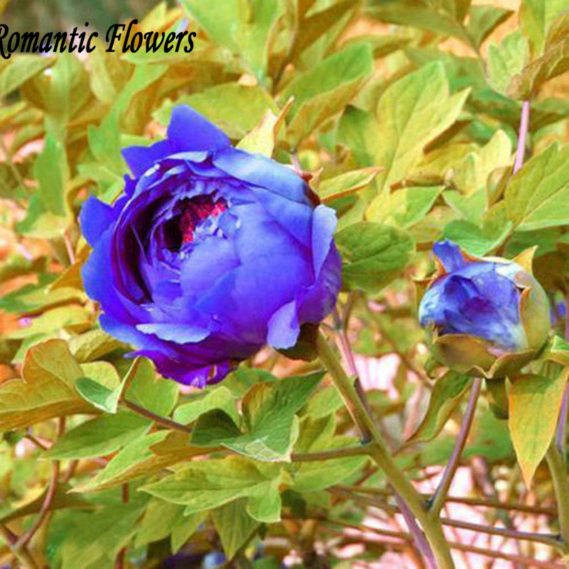 20 Seeds / pack  , Flower Seeds Blue Peony Rare Paeonia Potted Home Garden Plant