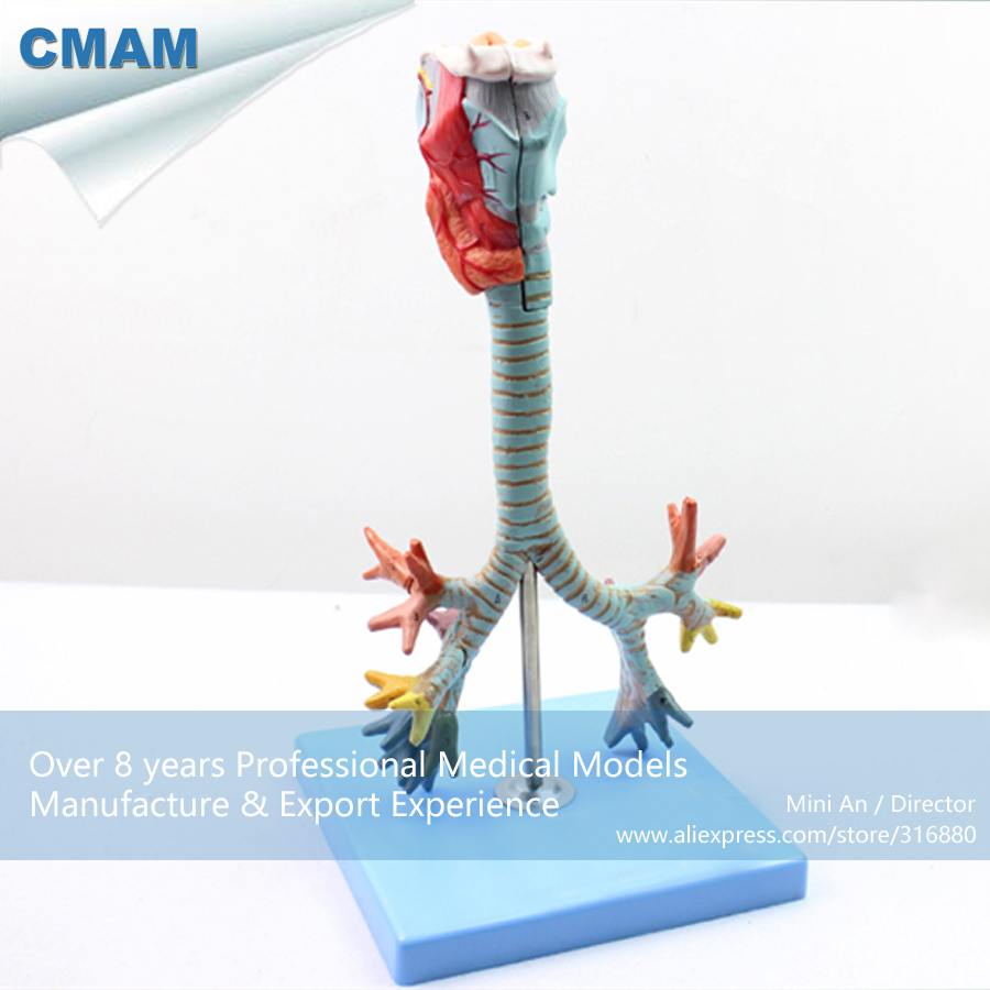 12502 CMAM-LUNG05 Larynx,Trachea and Bronchial Tree Human Medical Model, Medical Science Educational Teaching Anatomical Models 12400 cmam brain03 human half head cranial and autonomic nerves anatomy medical science educational teaching anatomical models