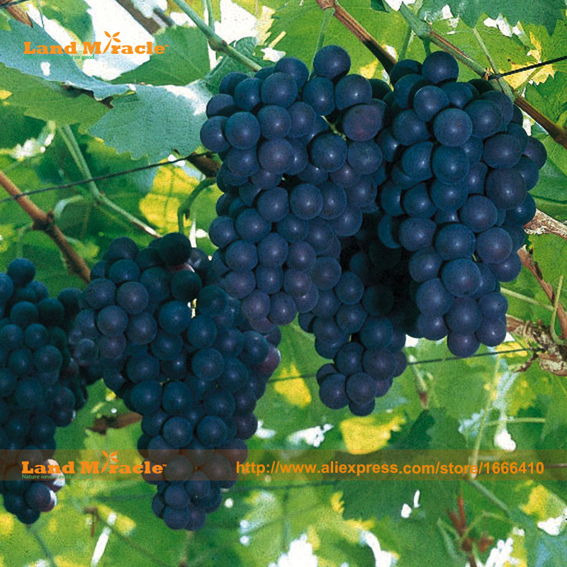America's 'Concord' Blue Grape Organic Seed, 20 Seeds/P
