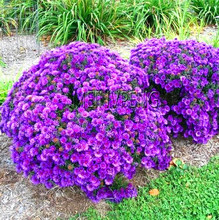 Ground Cover Chrysanthemum Bonsai Easy To Grow Flower Plant Home Garden