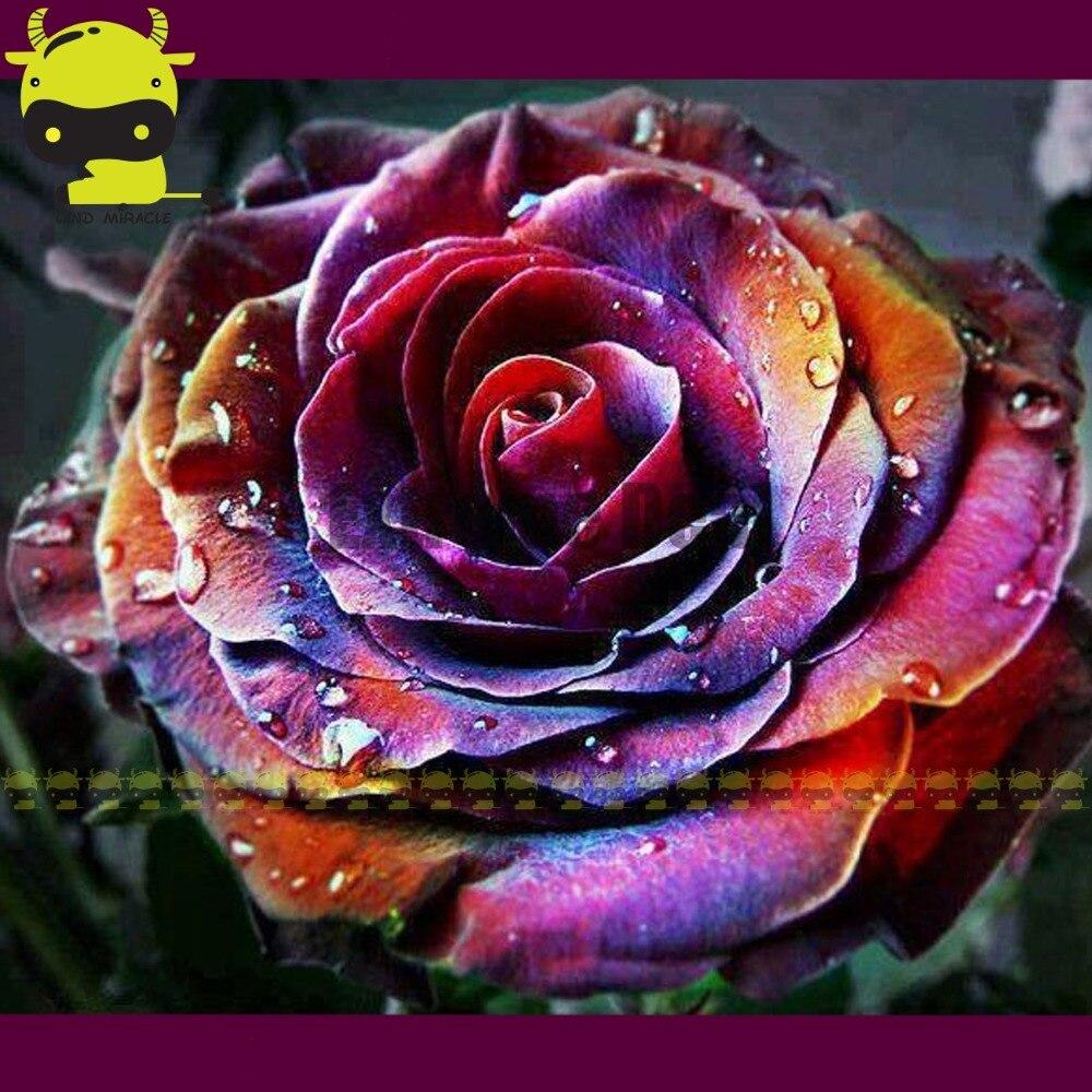 Rare Japanese Rainbow Rose Flower Plant Seeds 50 Seeds Beautiful