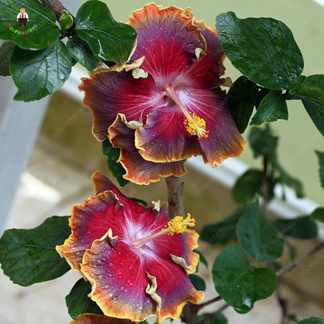 100pcs Japanese Style Rare Color Hibiscus Flowers At Their Home Diy