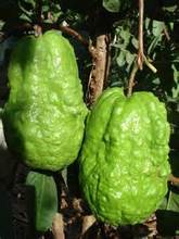 20 Tree Gaint Guava pomeganate seeds ,good fruit seeds