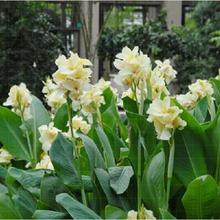 flower seeds bonsai canna lily seeds ermine tropical house plant white flowers garden decoration potted 10seeds b095