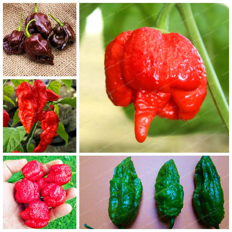 100Pcs Devil Chilli Bonsa Diy Potted Plants Germination Rate Of 95% India Pepper Free Shipping Best Vegetables Garden Plant Home