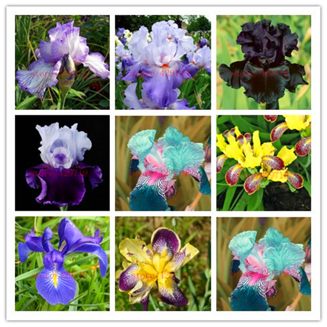 50 Pack Rose Iris Plante Populaire Vivaces Jardin Fleur Fleurs
