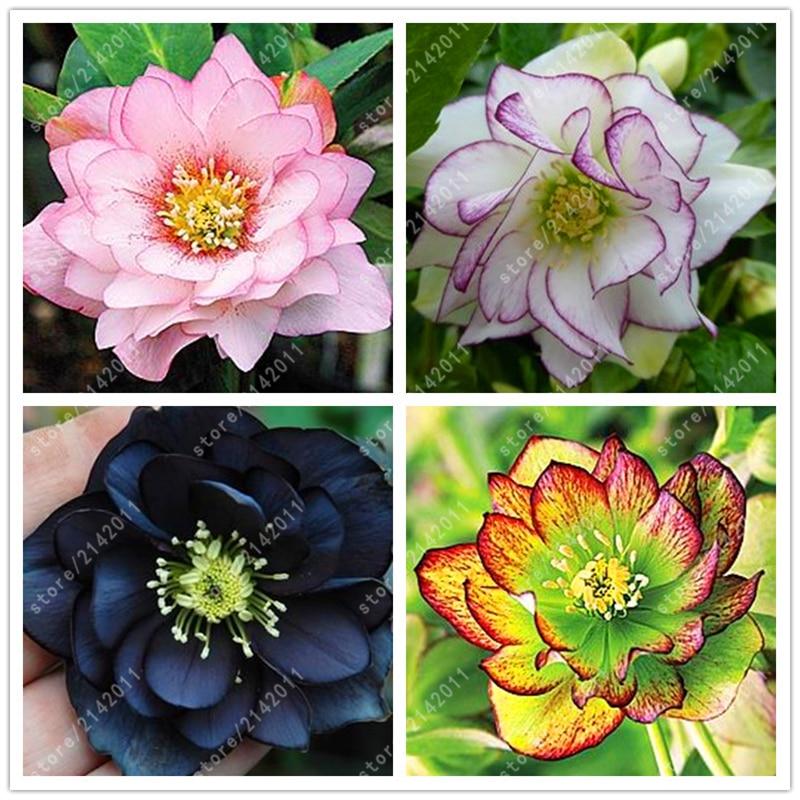 100pcs Bag Helleborus Seeds Winter Rose Rose Flower Grow