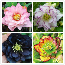 100PCS/BAG helleborus seeds Winter Rose flower grow in Winter rare flower seeds outdoor plant for home garden