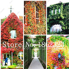 Hot Selling 100 Pcs Rare Red Ivy Climbing Plants Potted Garden bonsai Green Strange Plant Boston Ivy Outdoor Bonsai plant(China)