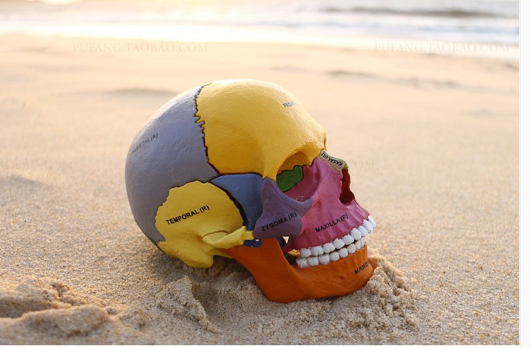 Dental lab Golbe 4D master Human Head Anatomy Medical anatomia Colorful Didactic Exploded Skull model skeleton robin hood 4d xxray master mighty jaxx jason freeny anatomy cartoon ornament