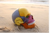 Dental Lab Golbe 4D Master Human Head Anatomy Medical Anatomia Colorful Didactic Exploded Skull Model Skeleton