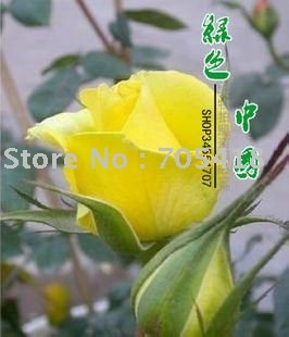 5 packages Climbing Rose Seeds -Peace (yellow color) **20 seeds per packages**flower seeds , home gardening