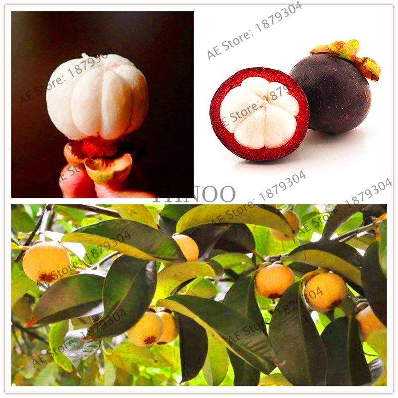 10 Pcs Thailand Mangosteen Fruit Bonsai Organic Heirloom Natural Anticancer Tree Garden Nutrient Rich Queen Of Tropical