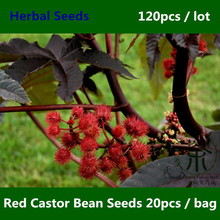 Ornamental Plant Red Castor Bean Seeds 120pcs, Widely Cultivated Ricinus Communis Herbal Seeds, Medicinal Uses Hong Bi Ma Seeds