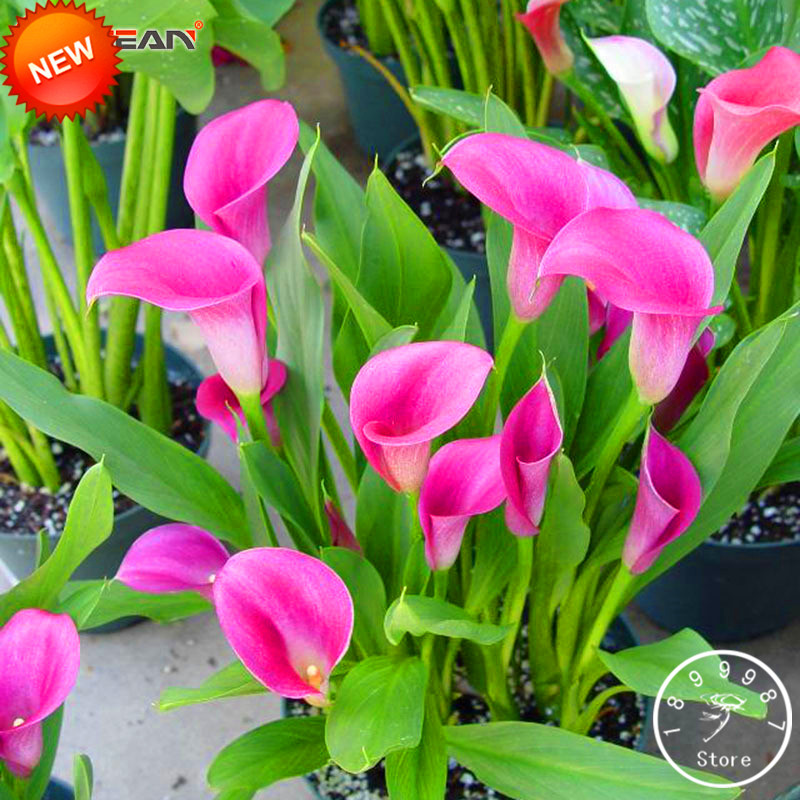 18 Colors,#29nio1 Refreshment Promotion!100 Pcs Rare Calla Lily Bonsai,rhizomes High Survival Rate Color Calla Lily Flower Plant Garden Pots & Planters