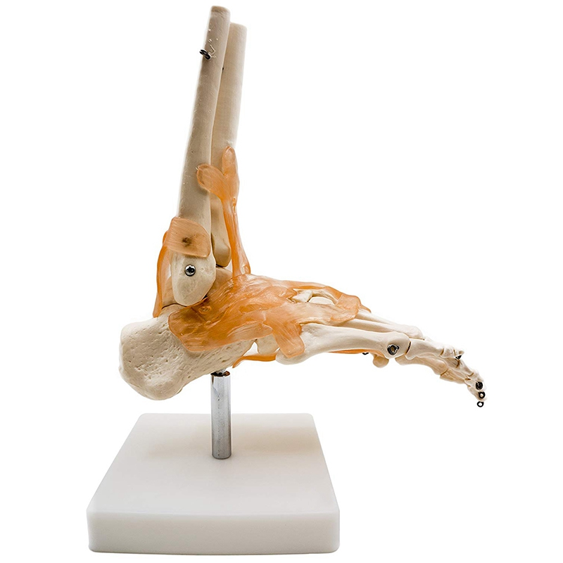 Foot Joint Model With Ligaments,Human Anatomical Model,Life Size